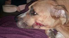 Machete-wielding burglars slash dog's face and steal her seven puppies
