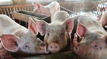 Artificial intelligence is being used to raise better pigs in China