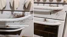 'Hire an exterminator': Nest of huntsman spiders found on oven
