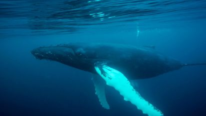 Whales 'whisper' to evade predators
