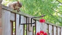 Hummingbird and Squirrel Squabble Over Feeder