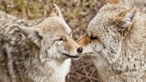 America's Greatest Animals: Coyote