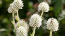 Gardening tips: plant button snakeroot