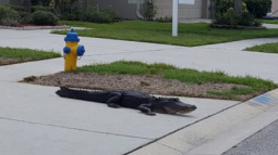 There Goes the Neighborhood: Smiling Gator Takes a Leisurely Stroll on Residential Streets