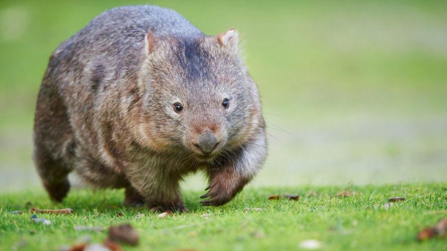 Australien kämpft gegen Selfies mit Wombats