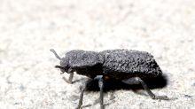 Unzerstörbarer Käfer: Was wir von diesem Panzer lernen können