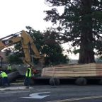 Idaho Sequoia Tied to John Muir Moved to New Home
