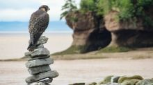 Peregrine falcons entertaining visitors at Hopewell Rocks