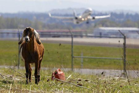 A plane takes off as a goat grazes at the Portland International Airport in Portland, Oregon April 17, 2015. REUTERS/Steve Dipaola
