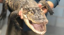 Capturan un caimán que tuvo en vilo durante una semana a un vecindario de Chicago