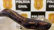 Polícia apreende mais uma cobra de estudante picado por Naja
