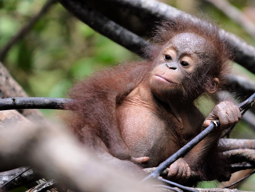Orangutans in Borneo are just one of the world's many threatened species as Earth faces a biodiversity crisis (AFP Photo/BAY ISMOYO)