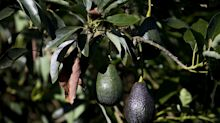 Restaurants Are Starting to Capitalize On Rising Supplies Of Avocados