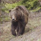 Man survives brown bear attack in Alaska