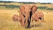 L'assenza di turisti e le piogge hanno aiutato gli elefanti