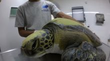 Rehabilitan a una tortuga tras defecar 13 gramos de plásticos en Argentina