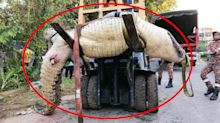 Mega crocodile weighing almost a tonne caught in drain system