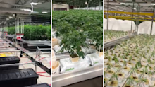 Inside CannTrust: Whistleblower reveals new video of alleged illegal grow room