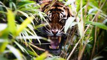 真。行山遇虎 印度保育老虎做得太好 野生老虎通山跑