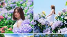 潮流興繡球花!台灣繡球花季開始了 4大繡球花海任你影!