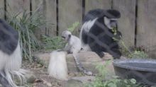 A tiny baby monkey is bouncing around this New Orleans zoo