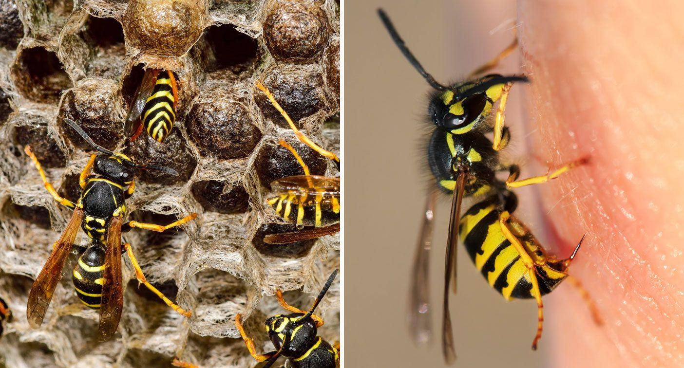 Girl, 7, goes into shock after stung 300 times by wasps