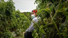 'Nunca esperé perder mi libertad': trabajadores inmigrantes de una empresa de tomates fueron confinados en granjas