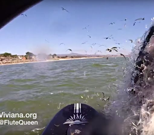 Humpback whale lunges out of the water just inches from a paddle boarder