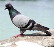 Chinese scientists control live pigeon flights via brain electrodes