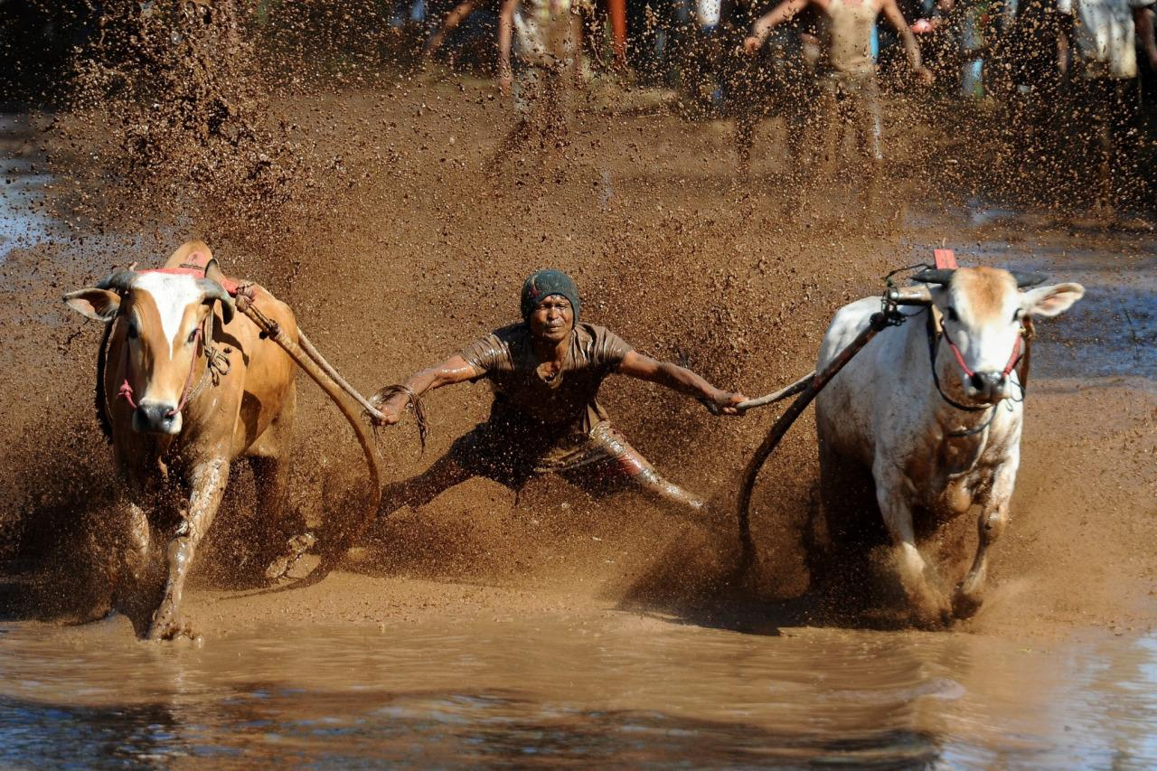 <p>Pacu Jawi Festival in Indonesia</p><p>A jockey spurs the cows during Pacu Jawi at Tabek village, Pariangan district in Tanah Datar, Indonesia, Aug. 14, 2016. Pacu Jawi (traditional cow racing) is held annually in muddy rice fields to celebrate the end of the harvest season by the Sumatrans people in Tanah Datar regency. (Photo: Robertus Pudyanto/NurPhoto via ZUMA Press)</p>