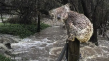 Koala in Australia: dopo gli incendi sono a rischio alluvioni