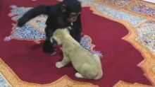 Baby chimp and lion cub's adorable playtime