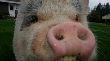 Yarmouth family's pet pig dreams dashed by town council