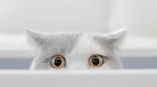 ¿Cómo cambia tu gato tras ser castrado?