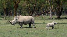Crean cuernos falsos de rinoceronte para luchar contra la caza furtiva