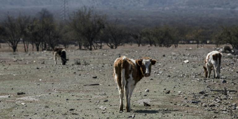 Cows seen on farmland left arid by a lack of rainwater in Colina, north of Santiago, Chile (AFP Photo/MARTIN BERNETTI)