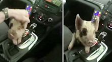Runaway piglet hitches ride with police officers after escaping onto busy main road