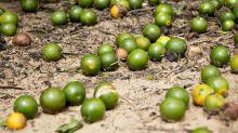 Irma Destroys Over Half of Orange Crop in Parts of Florida