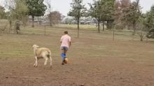 Rescued sheep plays football with girl on drought-hit farm