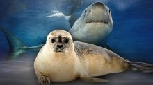 Would killing seals protect humans from sharks?