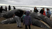 215 gray whales got stranded on North American shores last year. Scientists think some of them were blinded during solar storms.