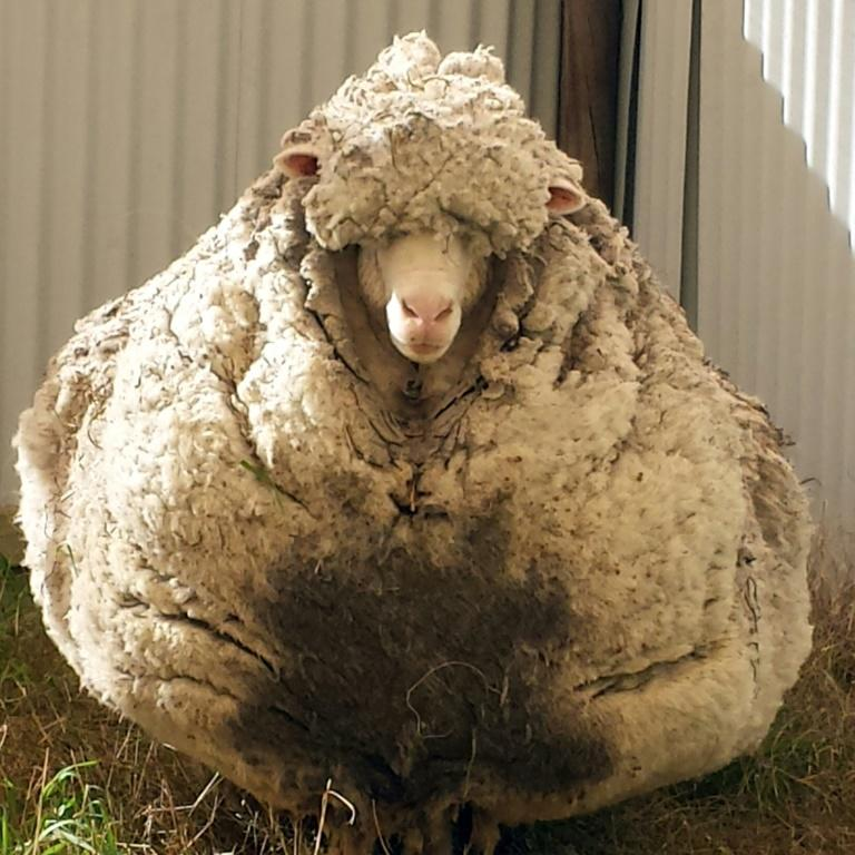 Chris the sheep made headlines after being found wandering with masses of wool sagging from its frame