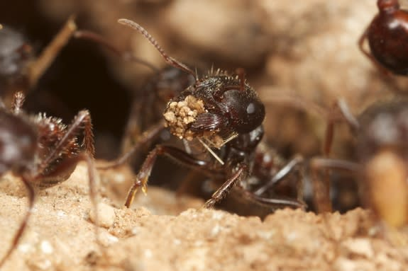 A rough harvester ant carrying a sand grain.