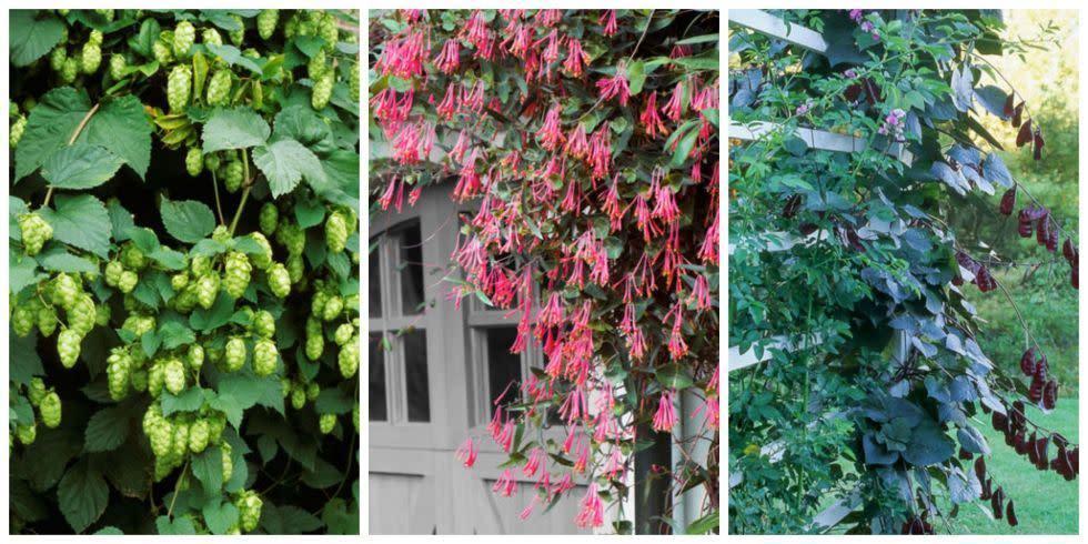 10 fast climbing flowering vines for your garden mightylinksfo
