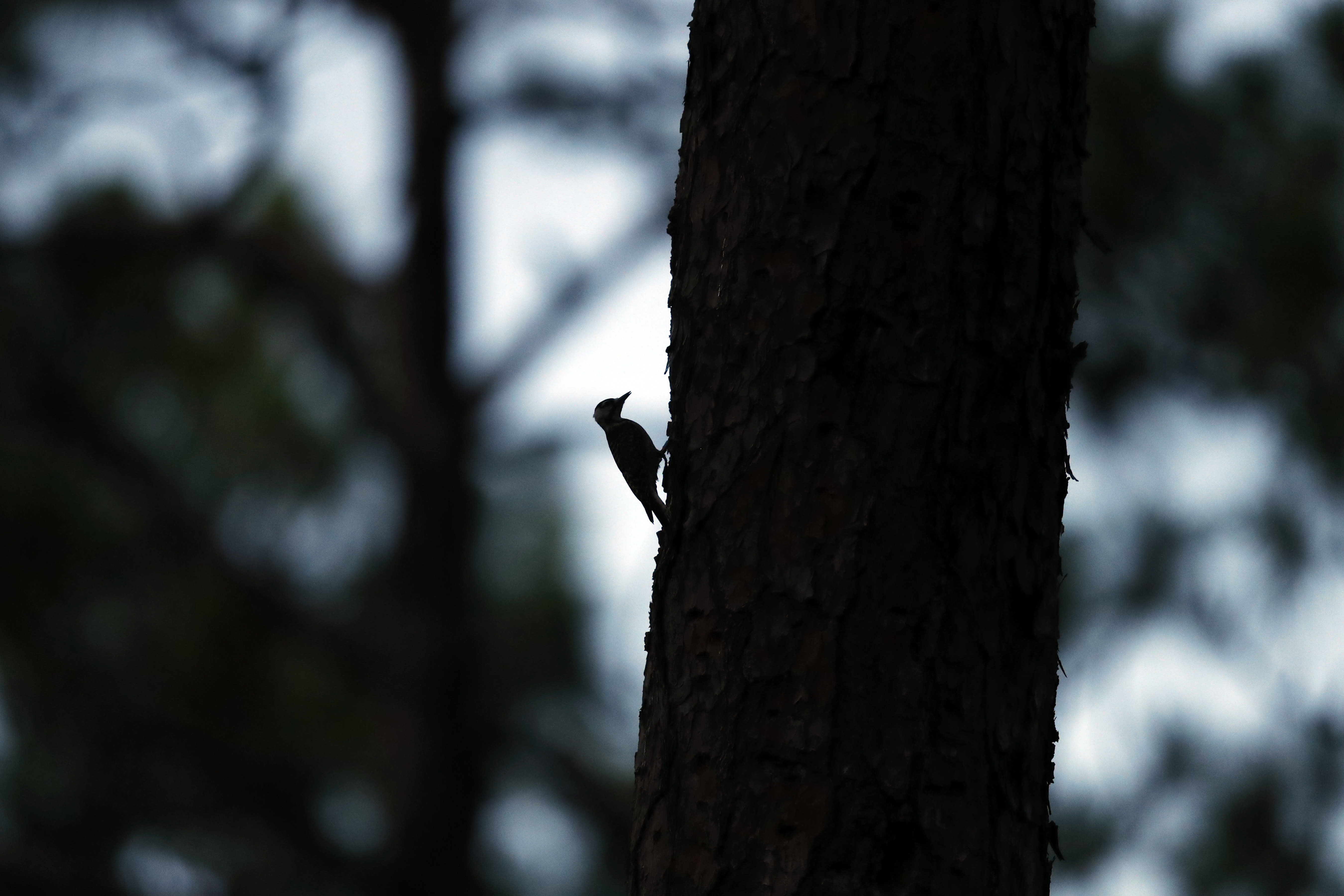 A red-cockaded woodpecker prepares to enter its roosting cavity for the night in a long leaf pine forest in Southern Pines, N.C., on Tuesday, July 30, 2019. The woodpecker was one of the first birds protected under the Endangered Species Act of 1973. (AP Photo/Robert F. Bukaty)