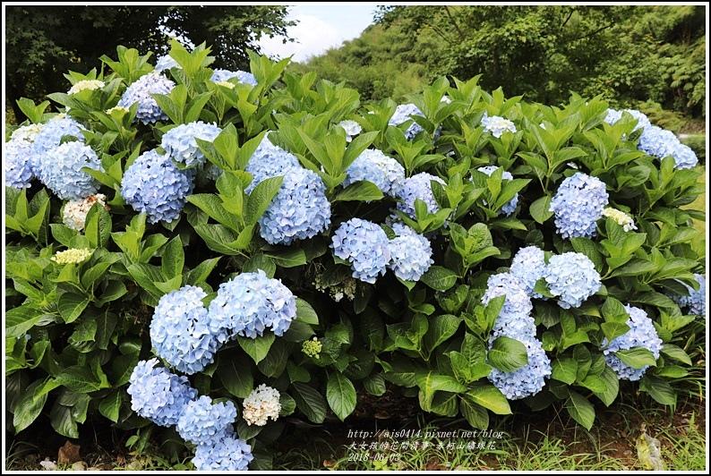 赤柯山繡球花-2018-06-09.jpg