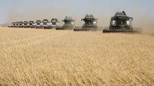 Precios de trigo ruso para exportación suben; productores locales esperan mejor escenario de venta