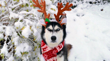Ebenezer POOCH: No one hates Christmas as much as this Siberian husky