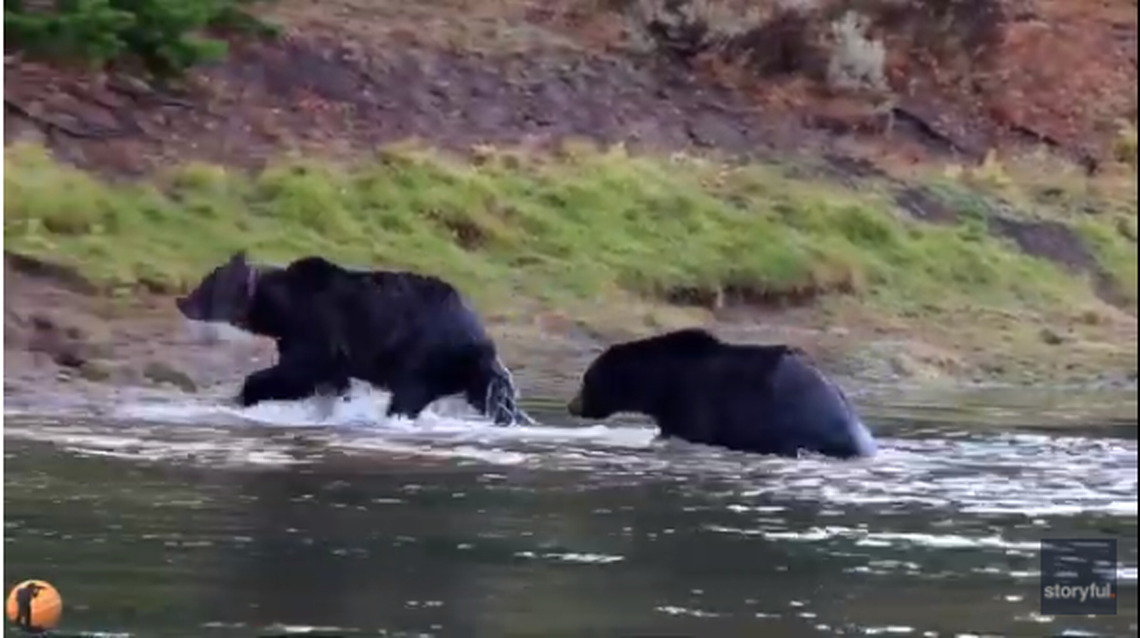 Massive hungry grizzlies go head-to-head over elk carcass at Yellowstone, video shows
