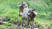 Tempête Alex : un parc à loups détruit par les crues dans les Alpes-Maritimes